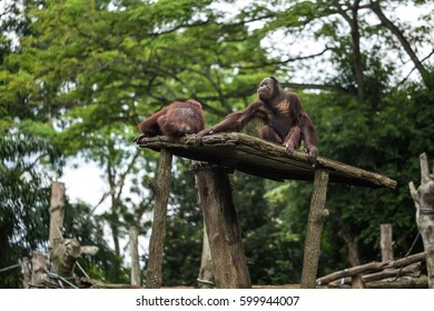 Two brown gibbon monkeys sit on the wooden platform on the green trees background in the zoo in Singapore. One monkey sits backsides. Horizontal.