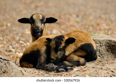 two brown goats grazing in a field, sheep