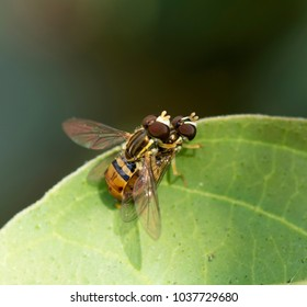 Two brown and gold American hover flies mating on a green leaf with a dark background.