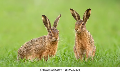 Two brown hares, lepus europaeus, sitting in green grass on a meadow in springtime. Couple of wild animals looking into camera on a vivid field. Concept of love between mammal during Easter.