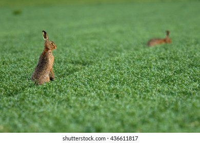Two brown hares on a field.