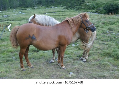 Two brown horses in a field