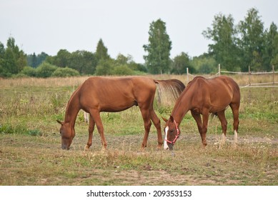 two brown horses grazing in the field