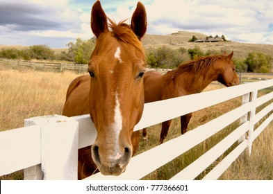 Two brown horses look over a white corral fence at the Douglas Lake Cattle Company in the interior of BC, Canada.