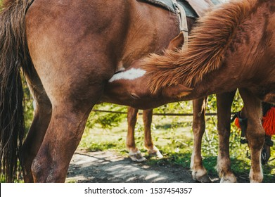 Two brown horses mating in a sunny field. Closeup