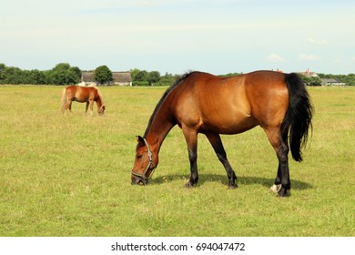 Two brown horses on pasture.