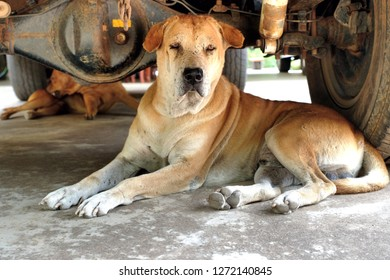 Two brown male dogs lie down and love to sleep under a car. They feel safer and comfortable to stay in shady places and can avoid high heat and humidity. Heatstroke prevention for animals!