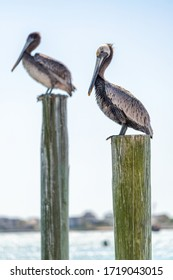 Two brown pelicans parallel to each other on pilings sticking out of the water.