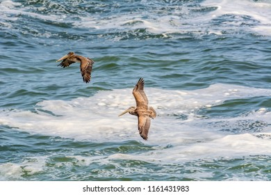 Two brown pelicans (Pelecanus occidentalis) flying above the ocean photographed from above on the west end of Yaquina Head, Yaquina Head Outstanding Natural Area, Newport, Oregon.