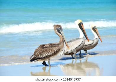 Two Brown Pelicans (Pelecanus occidentalis) walking on the beach in Varadero Cuba. Marine wildlife encounters