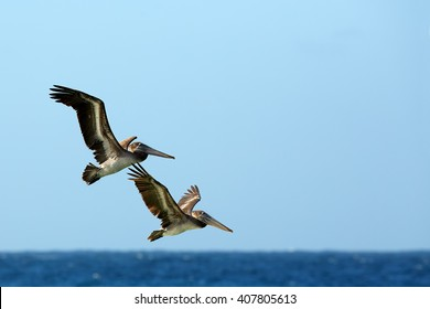 Two Brown Pelicans, Pelecanus occidentalis, couple flying together against blue sea horizon and clear sky. Wildlife photo, Tobago island.