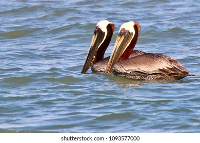 Two Brown Pelicans Swimming Together in the Ocean