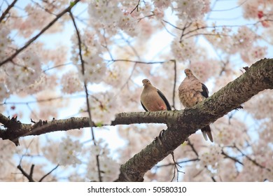 Two brown brown pigeons standing on the branch of a  a cherry blossom  looking down.