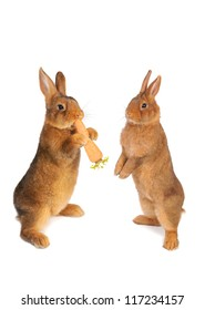 two brown rabbit with carrot in paws ���®n a white background