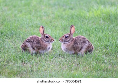 Two Brown Rabbits facing each other in a green grassy field.