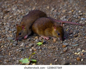 Two Brown Rats
