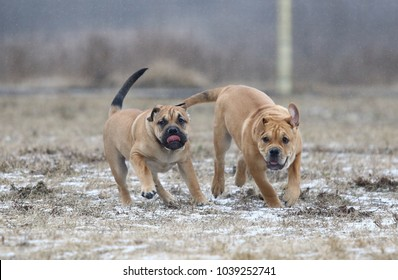 Two brown three months old Ca de Bou (Mallorquin Mastiff) male puppy dogs playing outdoors