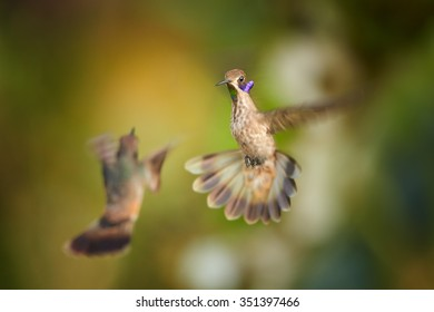 Two Brown Violet-ear Colibri delphinae hummingbirds in fight showing its rainbow throat and violet feathers like ears.  Blurred tropical yellow and green background. Ecuador.