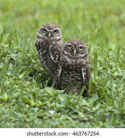 Two brown and white burrowing owls staring with bright yellow eyes while emerging from their nest surrounded by green grass.