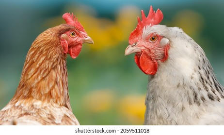 Two of a brown and a white chicken