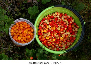 Two buckets full of cloudberries