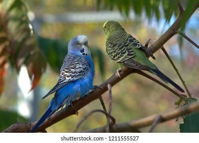 Two budgerigars sit on the branch and talk
