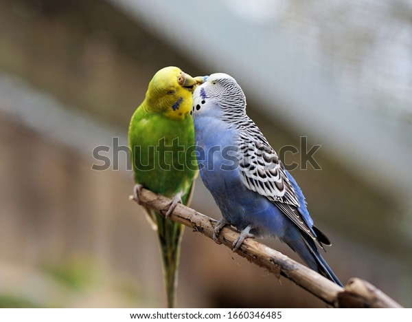 two budgerigars sit on the tree branch and kiss