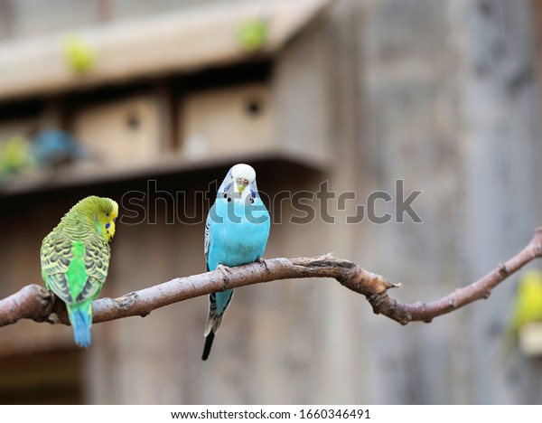 two budgerigars sit on a tree branch