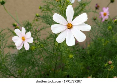two buds of a white sonata growing in the garden on a green grass background.  summer white flowers