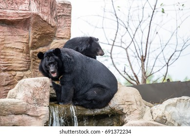 Two buffalo bears on rock