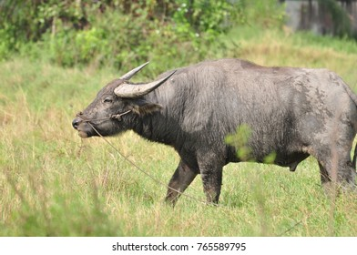 Two buffalo are feeding in the pasture and mating in the meadow.buffalo in the meadow.