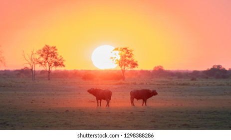 Two buffalos running into the sunset. Dust everywhere. Northern Namibia.