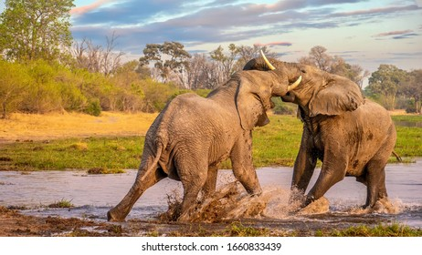 Two bull African elephants (Loxodonta africana) fighting and splashing in the Khwai River, Botswana.