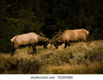 Two Bull Elk battle in a show of strength and masculinity