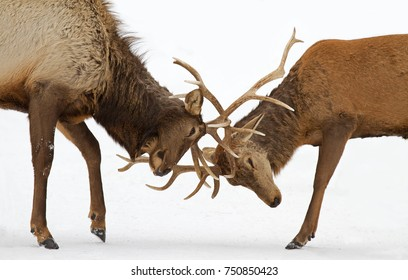 Two Bull Elk isolated against a white background fighting with each other in the snow in Canada