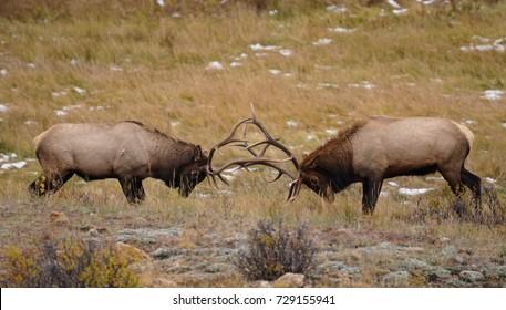 Two Bull Elk Lock Horns