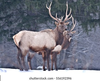Two Bull Elk - Photograph taken in Elk State Forest, Elk County, Benezette, Pennsylvania.