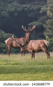 Two bull elk photographed in a food plot