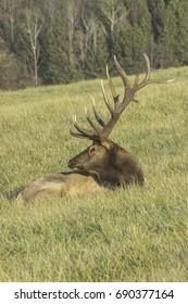 Two Bull Elk Shedding Velvet