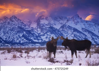 Two bull moose stand under the Tetons during a winter sunset in Grand Teton National Park, Wyoming.