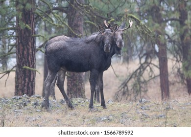 Two bull moose standing together at Turnbull Wildlife Refuge in Washington