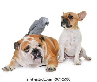 two bulldogs and parrot in front of white background