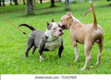 two bully dogs smell together in the park