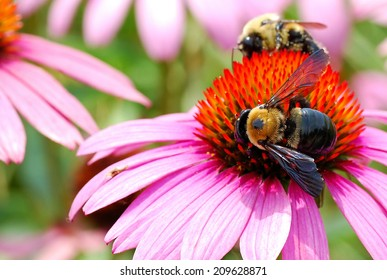 Two Bumble Bees Hard at Work Harvesting Pollen From a Large Echinacea Flower
