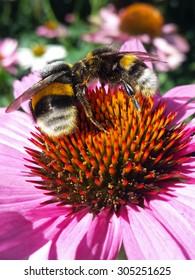 Two Bumblebees On Flower (Echinacea purpurea, Asteraceae)