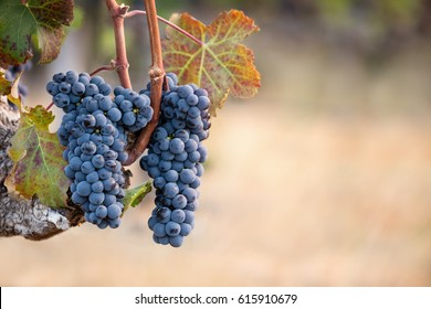 Two bunches of cabernet franc grapes on vine with copy space