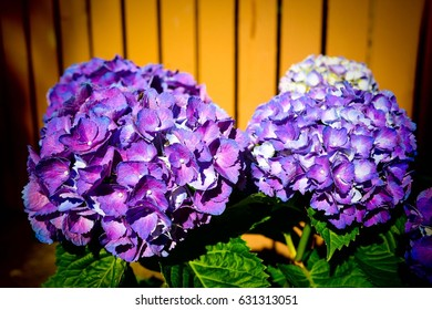 Two bunches purple Hydrangea in front of the wooden fence