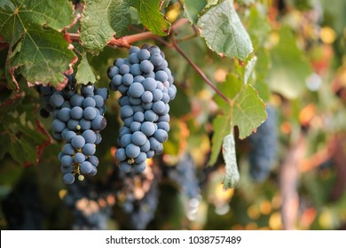 Two bunches of red wine grapes against colorful blurred vine leaves background.