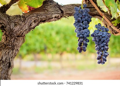 Two bunches of ripe red wine grapes on old vine with blurred vineyard background