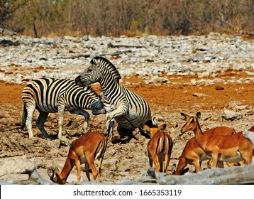 Two Burchelll Zebra fighting on the dry rocky African savannah with a small herd  of out of focus springbok in the foreground.  Etosha National Park, Namibia